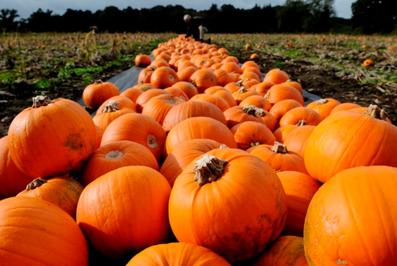 Pumpkin Picking at Craigie's Farm